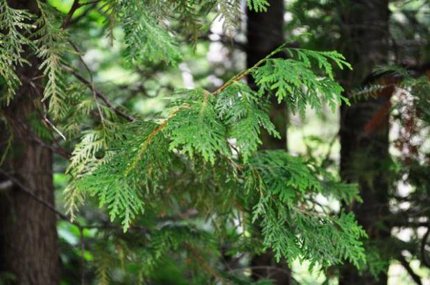 northern20white-cedar20leaves